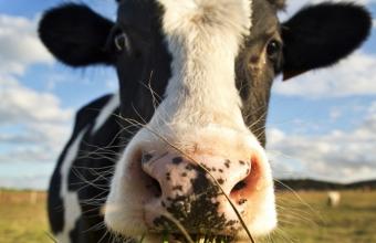 Brinco espião conta tudo sobre o comportamento das vacas